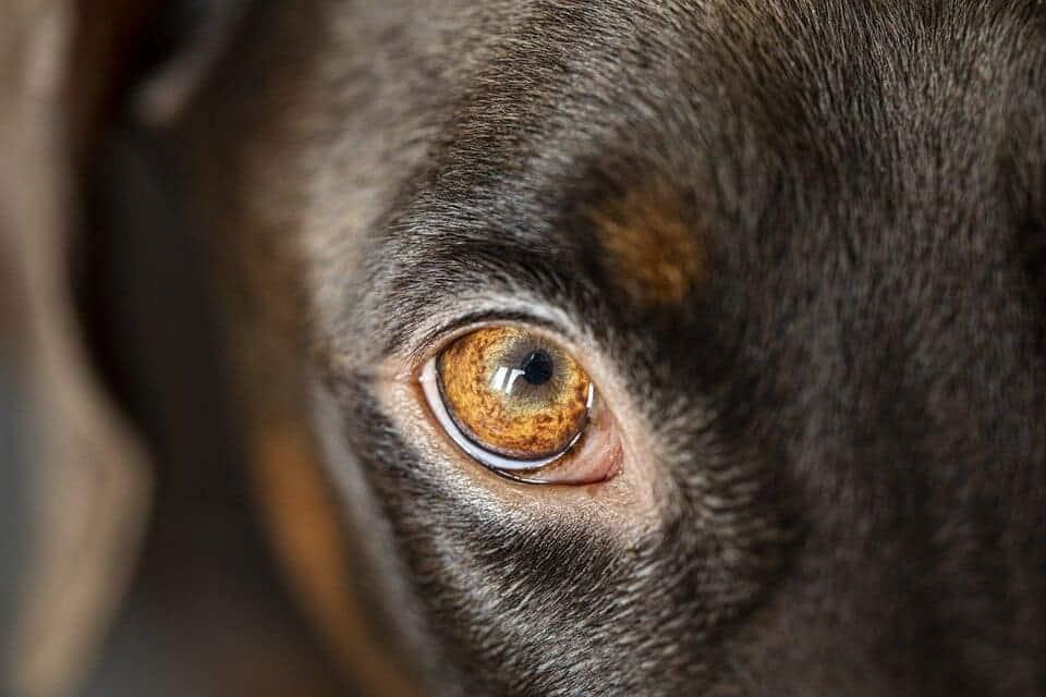 lexikon hund buchstabe g - grauer oder grüner star