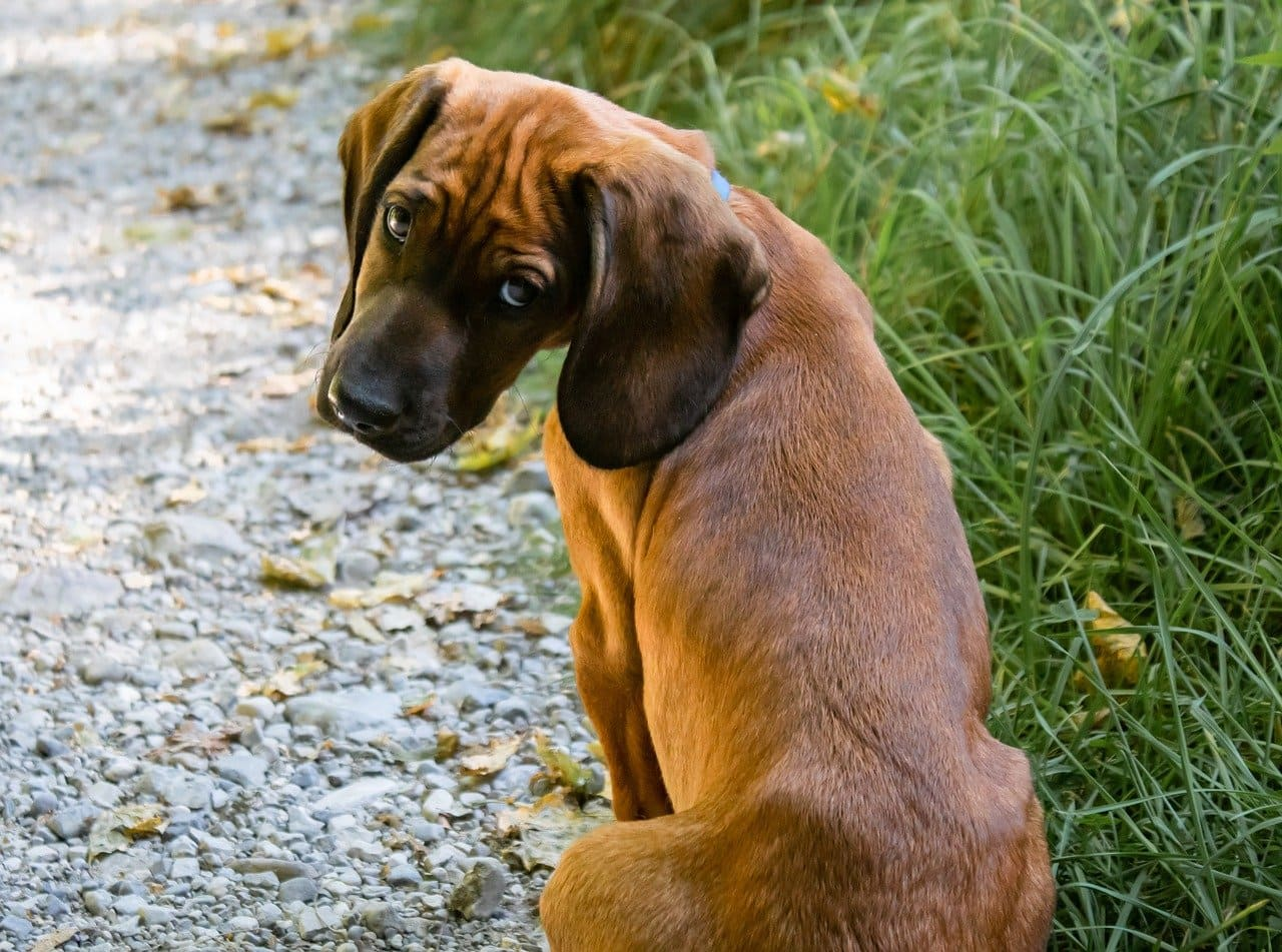 lexikon hund buchstabe k - kurzhaar