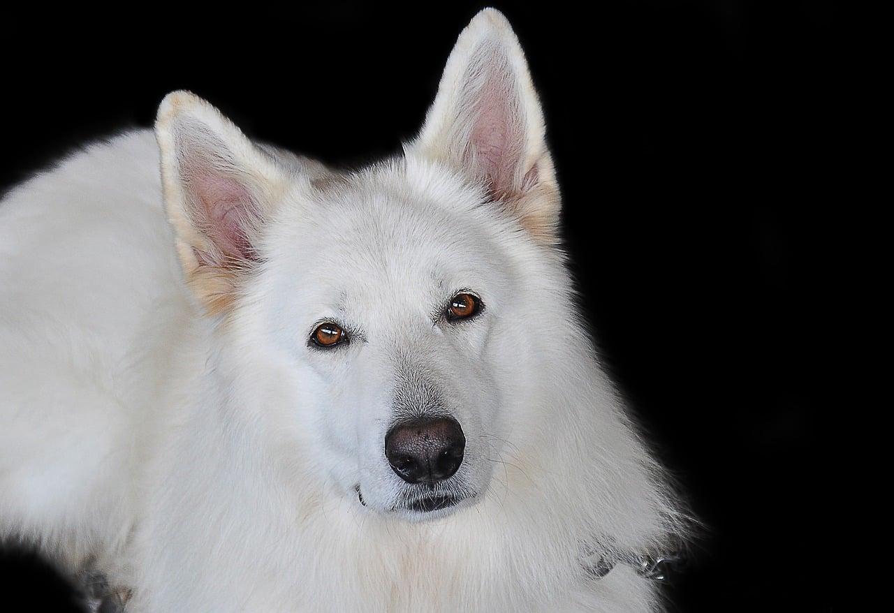 lexikon hund buchstabe l - langhaar
