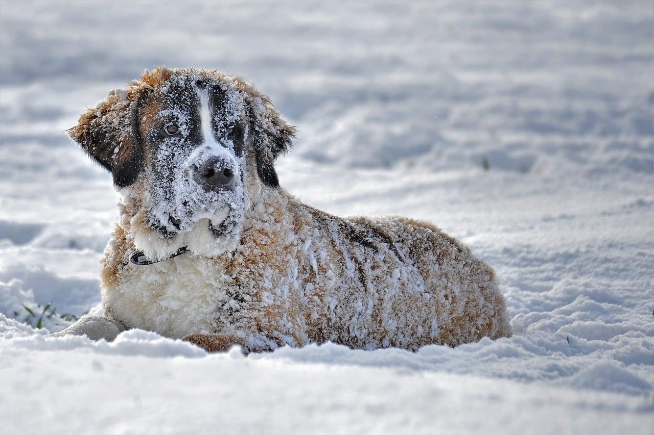 bernhardiner im schnee